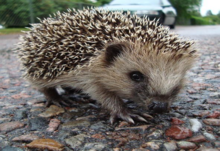 Hedgehog friendly campus
