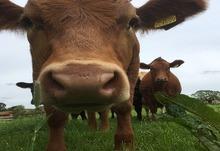 Cow 400x400