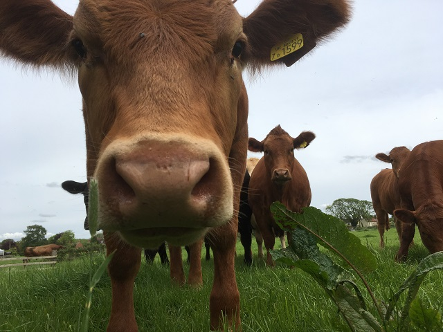Close up of a cow in a field with other cows in the background